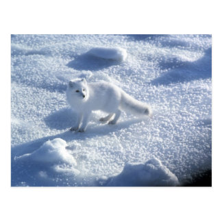 Cartão Postal Lagopus do Alopex da raposa ártica) uma raposa