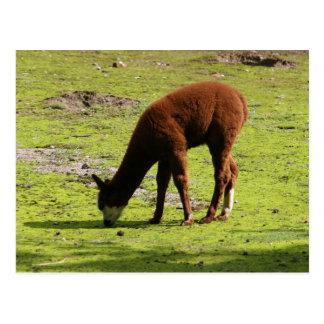 Cartão Postal Lama marrom macio que pasta