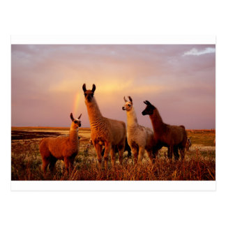Cartão Postal Lamas com um céu do arco-íris