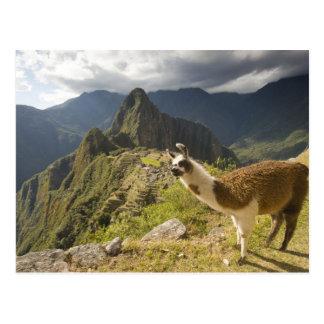 Cartão Postal Lamas e um olhar excedente de Machu Picchu,