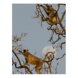 Cartão Postal Langur de Hanuman que escala na árvore