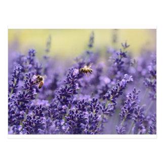 Cartão Postal Lavanda e abelhas