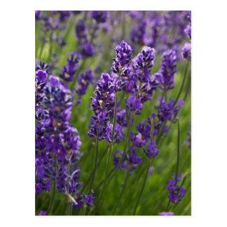 Cartão Postal Lavendar | Lavendel