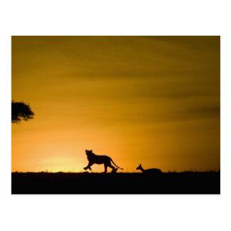Cartão Postal Leão africano, Panthera leo, perseguindo a gazela