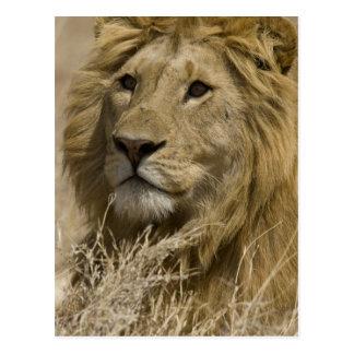 Cartão Postal Leão africano, Panthera leo, retrato da
