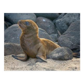 Cartão Postal Leão de mar de Galápagos
