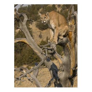 Cartão Postal Leão de montanha, aka puma, puma; Concolor do