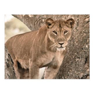Cartão Postal leão deescalada, Uganda África