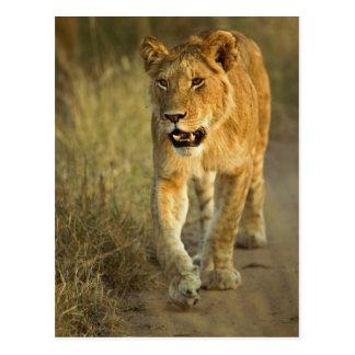 Cartão Postal Leão fêmea que anda no por do sol, Masai Mara,