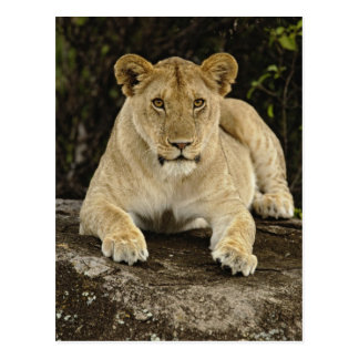 Cartão Postal Leão, Panthera leo, parque nacional de Serengeti,