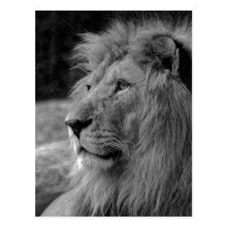Cartão Postal Leão preto & branco - animal selvagem