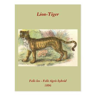 Cartão Postal Leão-Tigre (híbrido de tigris do Felis de leo do