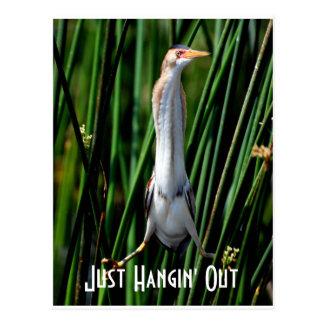 Cartão Postal leastbittern, apenas Hangin para fora