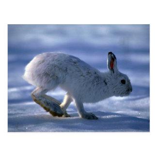 Cartão Postal Lebre de variação/coelho de sapato de neve que