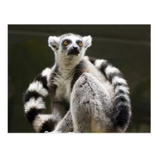 Cartão Postal Lemur Anel-atado