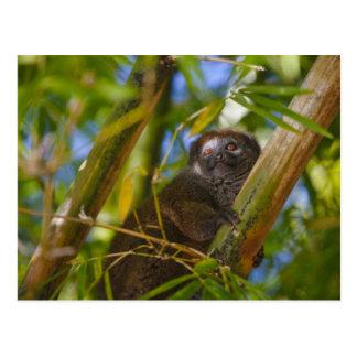 Cartão Postal Lemur de bambu na floresta de bambu, Madagascar
