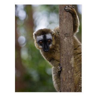 Cartão Postal Lemur de Brown (fulvus de Eulemur) na floresta 3