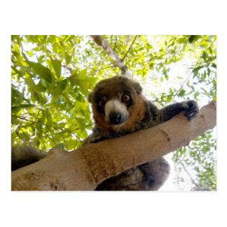 Cartão Postal Lemur do mangusto
