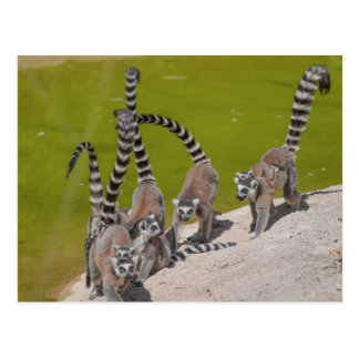 Cartão Postal lemur no jardim zoológico
