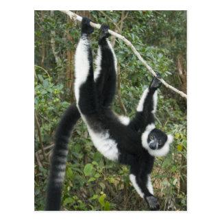 Cartão Postal Lemur preto e branco de Ruffed, (Varecia