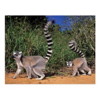 Cartão Postal Lemurs Anel-Atados (Lemur Catta), Berenty