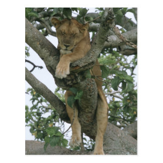 Cartão Postal Leoa de escalada da árvore (Panthera leo), rainha