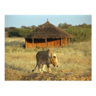 Cartão Postal Leoa em Namíbia