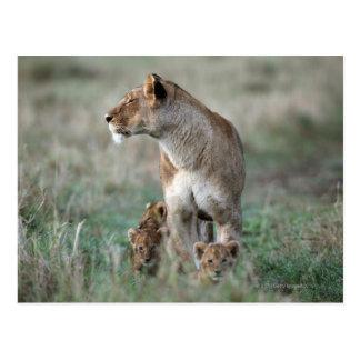 Cartão Postal Leoa (Panthera leo) e filhotes, Masai Mara