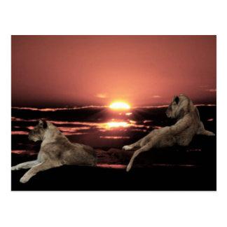 Cartão Postal Leões africanos que descansam no por do sol