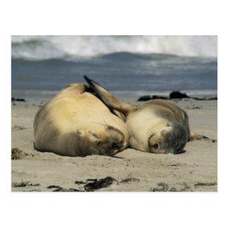 Cartão Postal Leões de mar australianos, Neophoca cinerea),