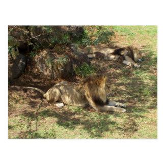 Cartão Postal Leões preguiçosos