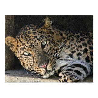 Cartão Postal Leopardo africano
