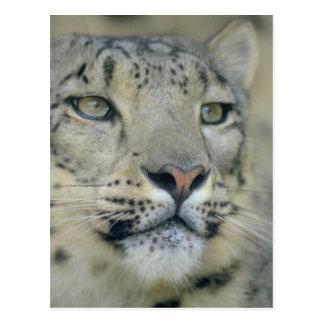 Cartão Postal leopardo de neve
