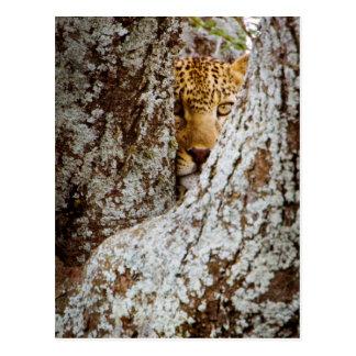 Cartão Postal Leopardo (Panthera Pardus) que esconde atrás da