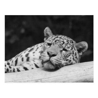 """Cartão Postal """"Leopardo preguiçoso """""""