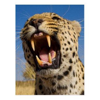 Cartão Postal Leopardo que Snarling