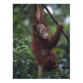 Cartão Postal Liana de escalada do bebê do orangotango
