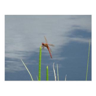 Cartão Postal libélula alaranjada no talo de grama