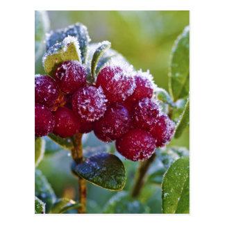 Cartão Postal Lingonberries do fosco