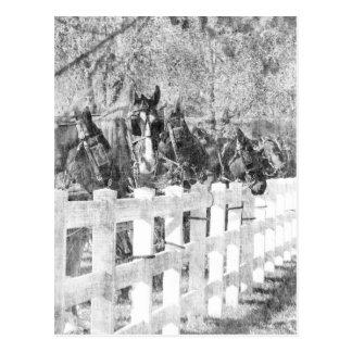 Cartão Postal Linha de cavalos de Amish preto e branco