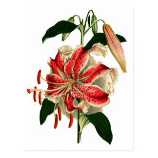 Cartão Postal Lírio cor-de-rosa e branco de Botanicals antigo