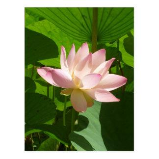 Cartão Postal Lírio de água cor-de-rosa