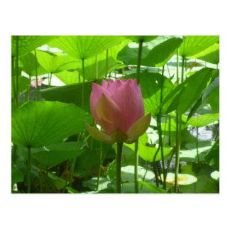 Cartão Postal Lírio de água cor-de-rosa - agora abrindo
