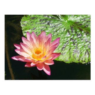 Cartão Postal Lírio de água cor-de-rosa em uma lagoa
