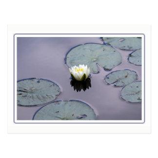 Cartão Postal Lírio de água temperamental com beira
