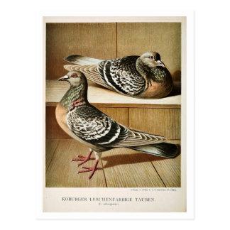 Cartão Postal Litho antigo do pombo que grava Coburger