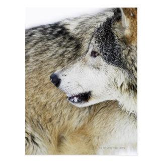 Cartão Postal Lobo