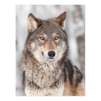 Cartão Postal Lobo cinzento (lúpus de Canis) com uma parte