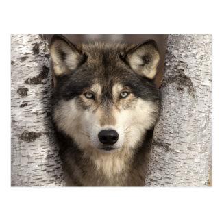 Cartão Postal Lobo de madeira por Jim Zuckerman