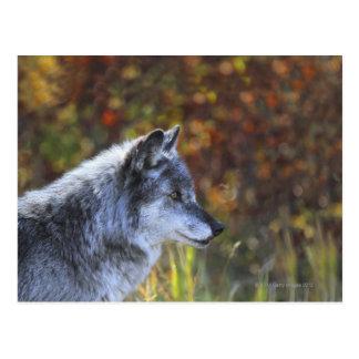 Cartão Postal Lobo (lúpus de Canis)